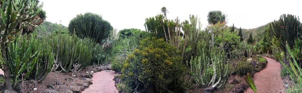 Cactus cardón Jardin Canario Gran Canaria Islas Canarias 003