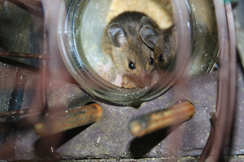 Mice on Peanut Butter | Two mice have been visiting a jar ...
