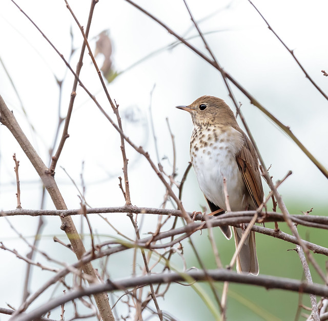 Return of the Birds - Reverence for the Hermit Thrush, but None for the Pewee