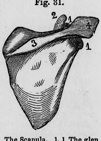 This image is taken from Elements of the anatomy, physiolo