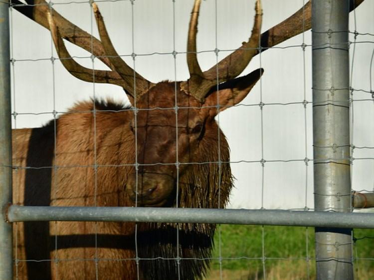 Elk KC 20181013_0465