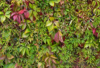 Vine-Covered Wall