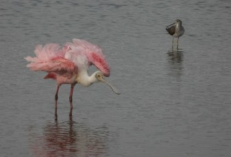 Rosiate Spoonbill Fluffing