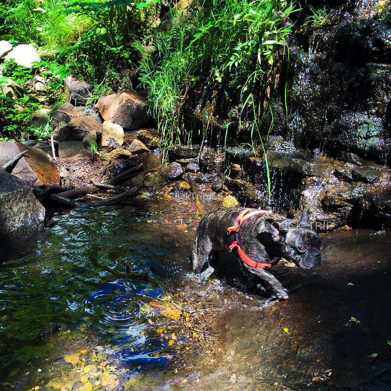 Tara, nuestro Bulldog Francés disfrutando de la naturaleza del Montseny