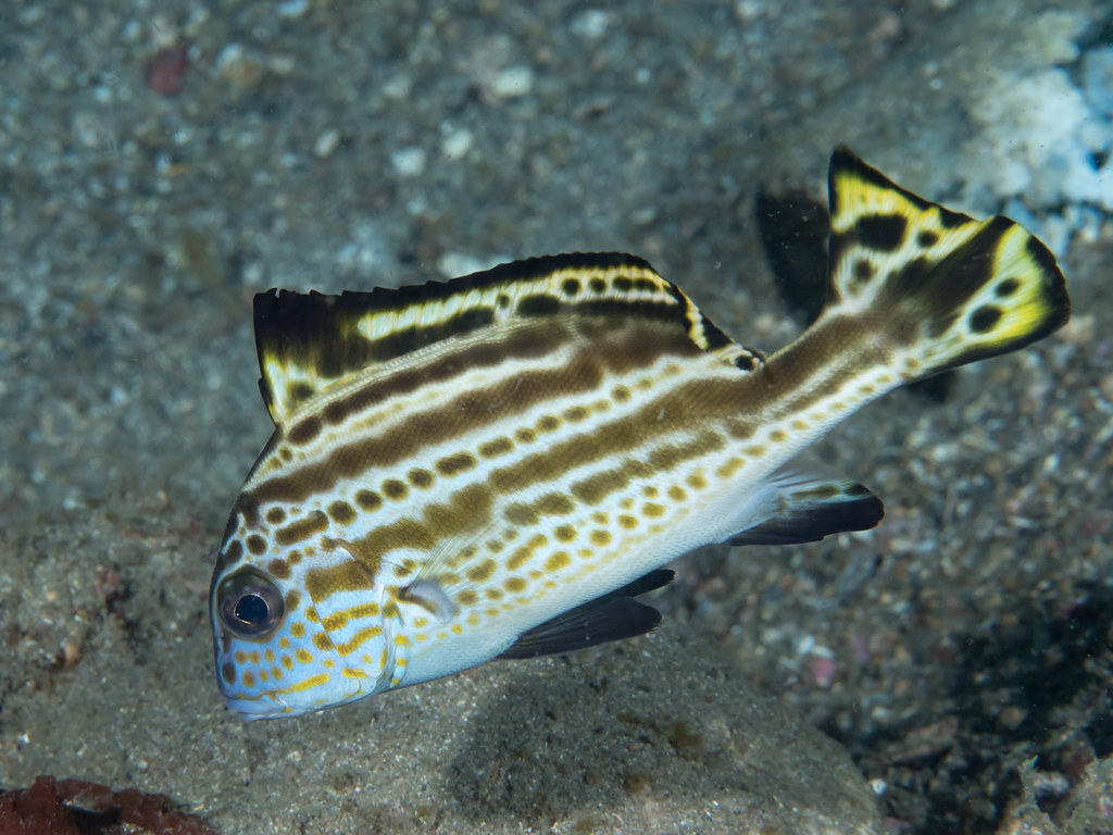 hight resolution of  painted sweetlips diagramma pictum by krokodiver