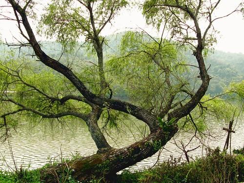 柳樹 | Chiau-Bun Ong | Flickr
