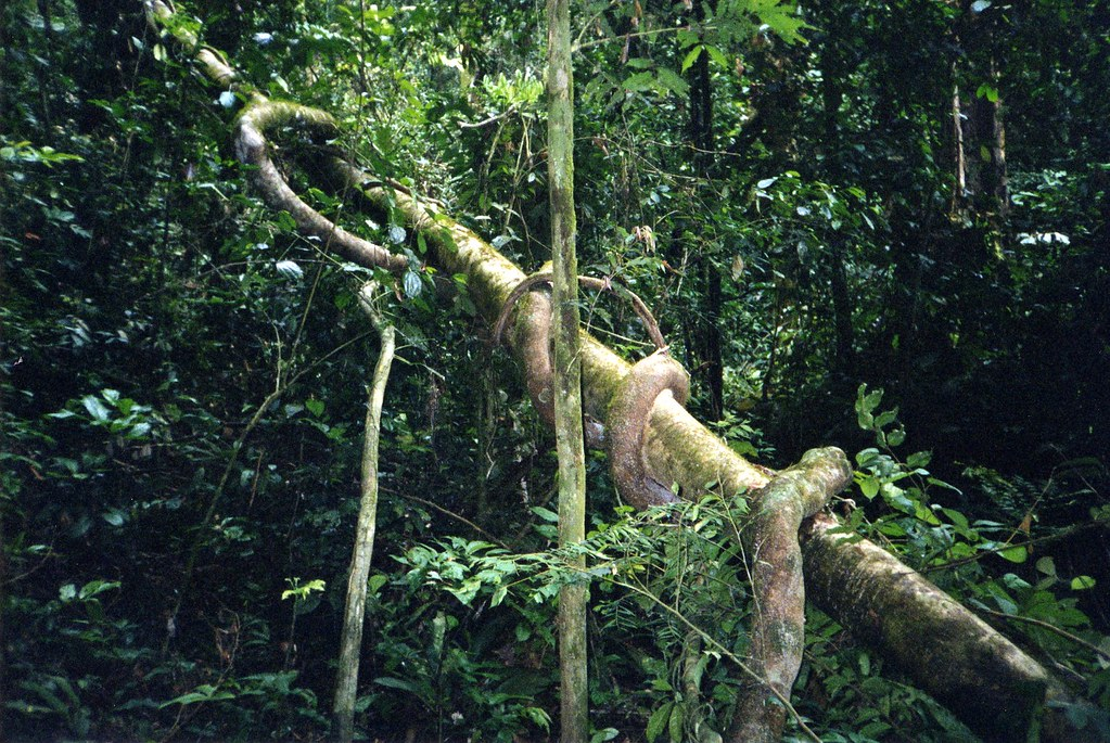 Jungle Vine One Day I Wandered Into The Nigerian Jungle