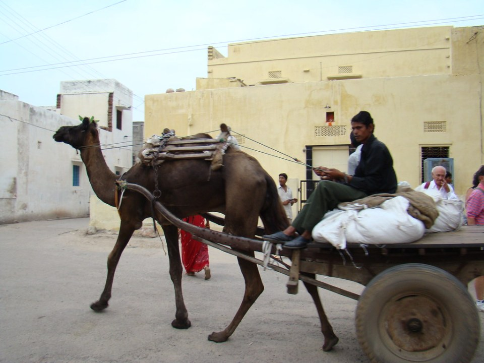 India camello Sanganer 07