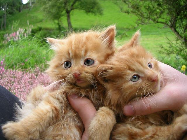 Orange tabby kittens  Fresa female on the left Renji