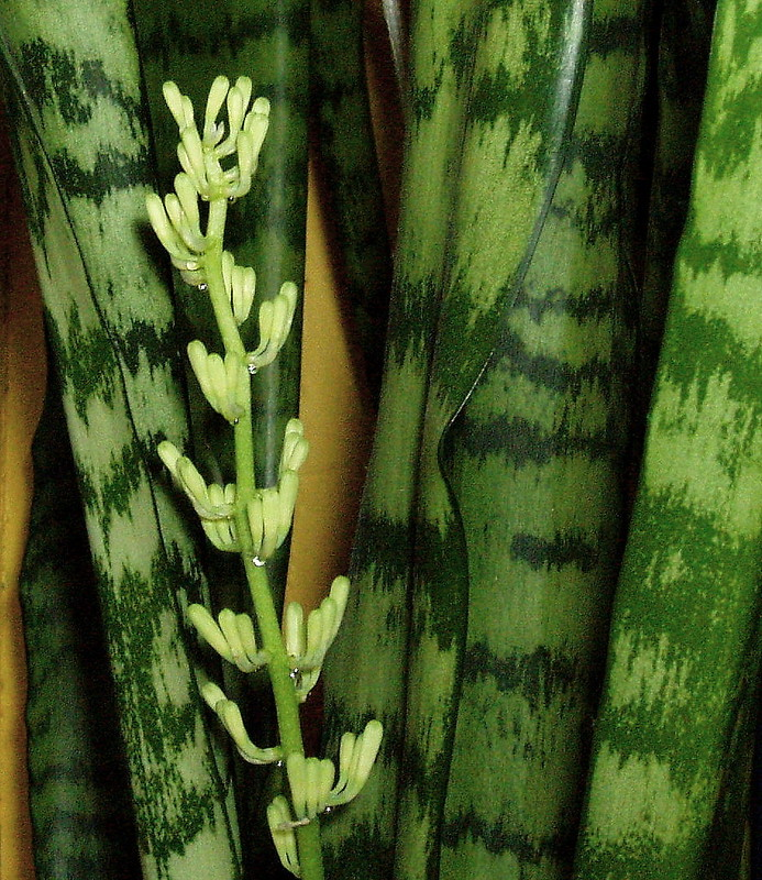 "January 25th ""Sansevieria in flower"""