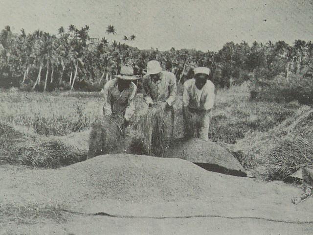 Men Harvesting Rice