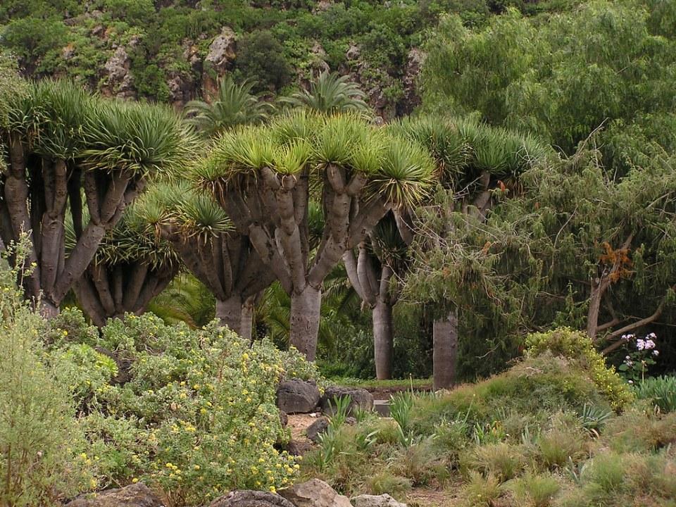 Dragos arboles Jardin Canario Gran Canaria Islas Canarias 054