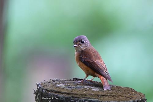 紅尾鶲-夏候鳥12公分   學名 Muscicapa ferruginea 英名 Ferruginous Flycatc…   Flickr