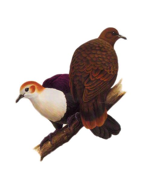 White-throated Ground Dove