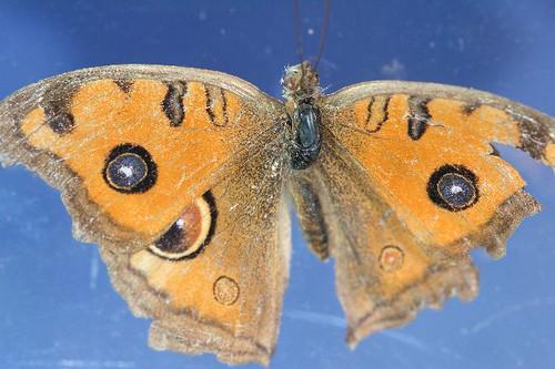 孔雀蛺蝶 4607 孔雀蛺蝶 Junonia almana. 080424 | 隆華國小 動物 鱗翅目 Lepidopt… | Flickr