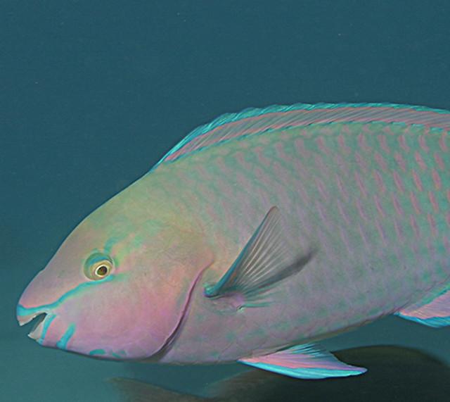 Palenose Parrotfish