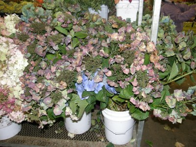 Hydrangea, Antique Lacecap