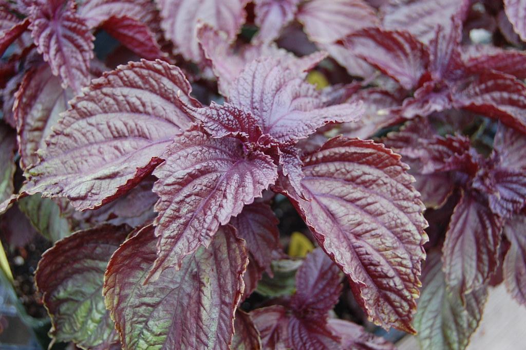 Perilla Frutescens Purple Shiso Faroutflora Flickr