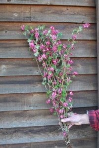 Pink Flowering Currant