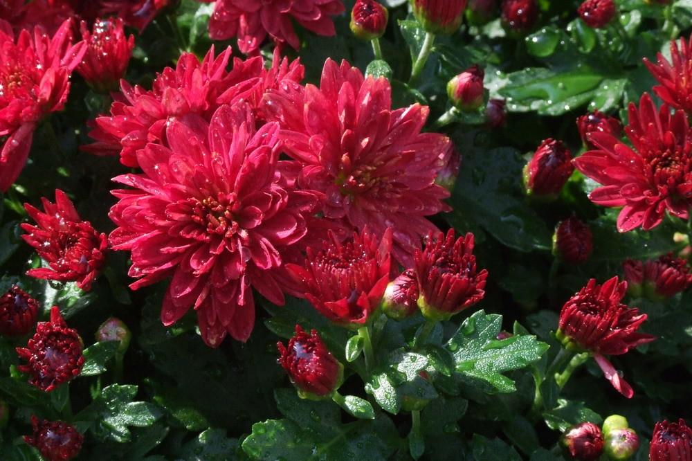 「煙火」 | 「菊 花」 別 名: 秋菊,家菊 學 名: (Chrysanthemum spp.) 用 途: 花壇,盆栽… | Flickr