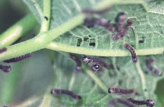 蠶 22 蟻蠶 0001 -840004 -640 | 隆華國小 動物 鱗翅目 Lepidoptera 蠶蛾科 Bomb… | Flickr