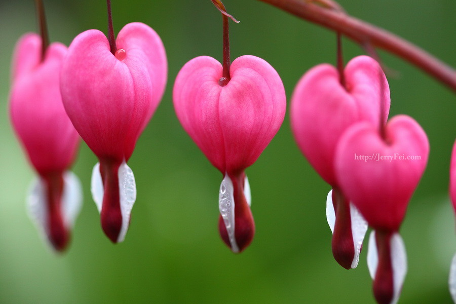 rose pink and heart