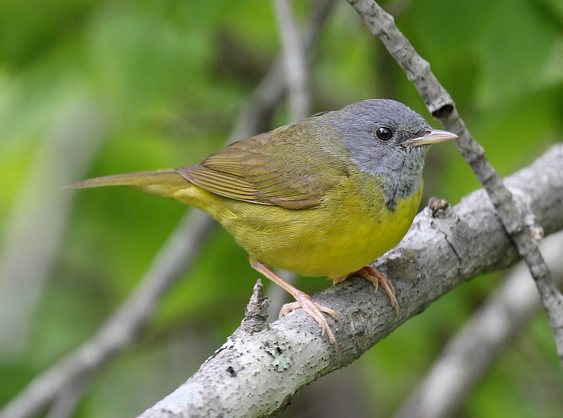 816 - MOURNING WARBLER (6-4-2015) coos co, nh -01