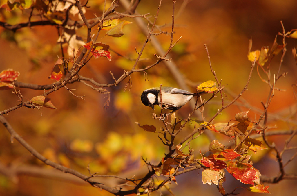 Animals And Birds Wallpaper Autumn Bird 紅葉とシジュウカラ Shiger Miy Flickr
