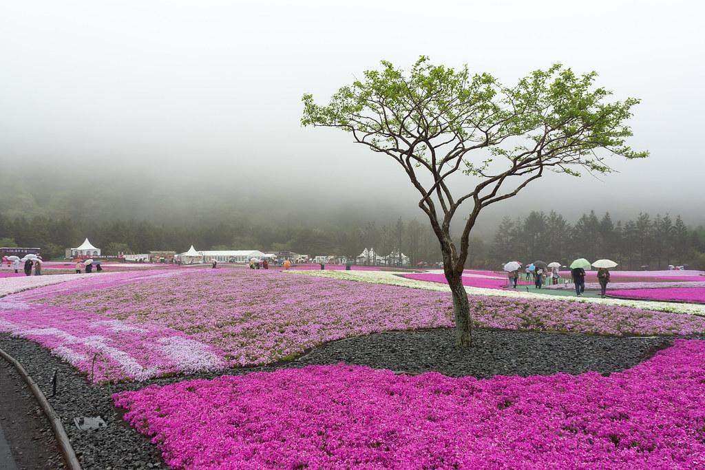 2013.0511.1132.23 | 日本 / 山梨縣 / 河口湖町 / 本棲 / 富士芝櫻祭 ...