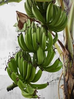 531 resep pisang raja nangka enak dan sederhana ala