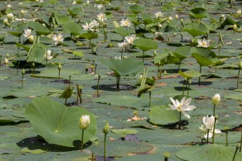 in de gracht rond Sigiriya groeien massa's en massa's...