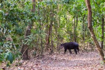 Het lelijkste beest ever: een tapir.