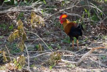 maar voor een kip (sri lanka jungle fowl) sta je normaal niet zo vroeg op