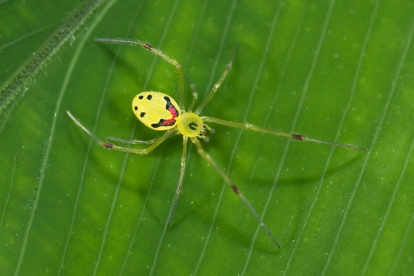happy face spider  # 10