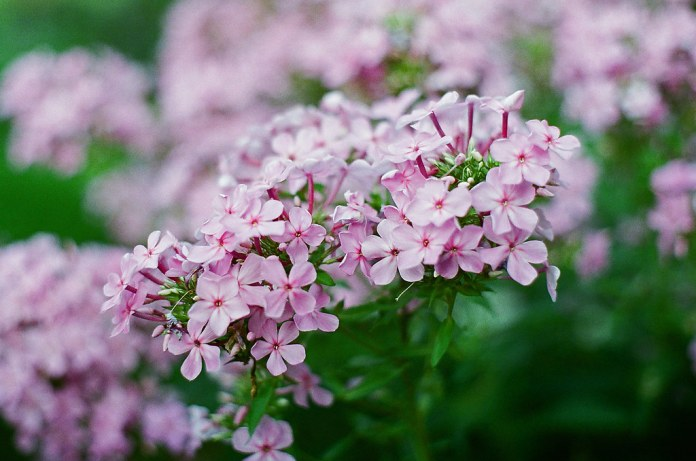 Phlox, I think on Fujifilm Superia X-tra 800