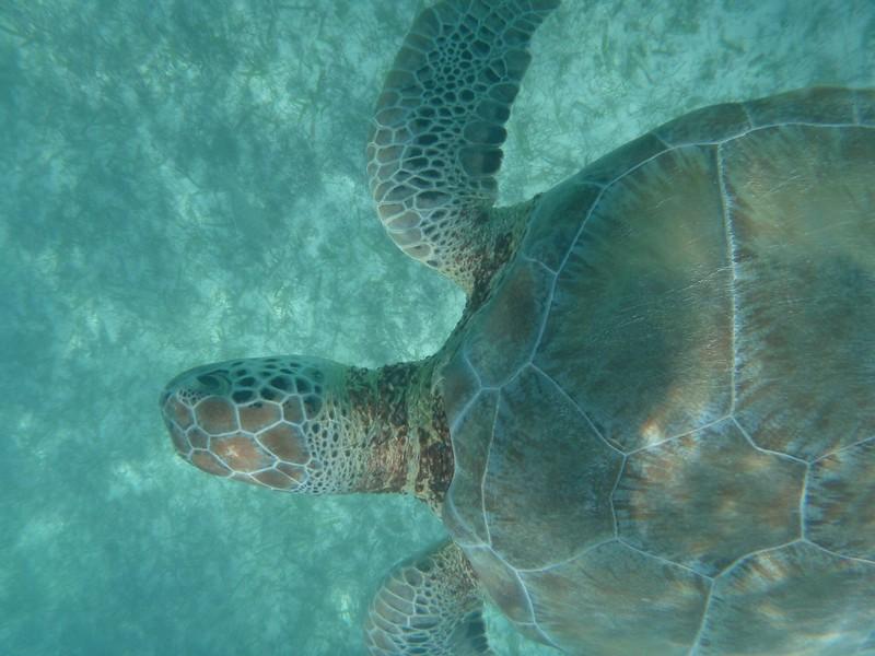 Sea Turtles at Akumal, Yucatan