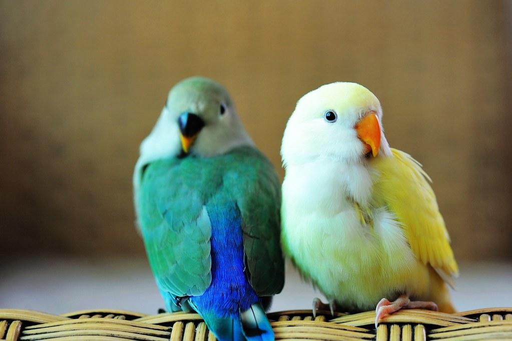TCY_0132   牡丹鸚鵡-艾莉絲與小綠綠   蘇州一隅   Flickr