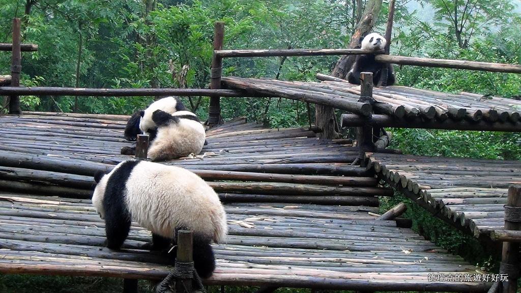 1309 成都 熊貓基地 成都大熊貓 繁育研究基地 大熊貓 小熊貓 禮品店 電瓶車 PANDA 竹子 熊貓幼仔 四川… | Flickr