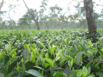 Assam Tea Garden, Photo taken at Jorhat
