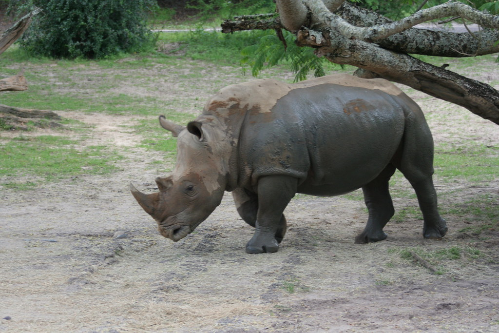 Rhinoceros on Kilimanjaro Safari - Animal Kingdom - Walt Disney World