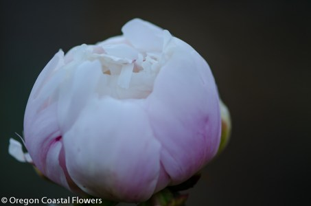 blush peony-1