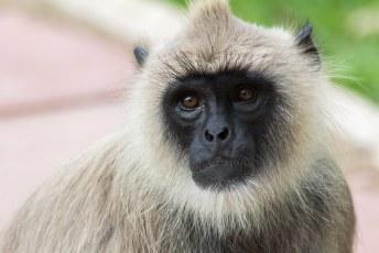 en apen zoals de grijze langur apen