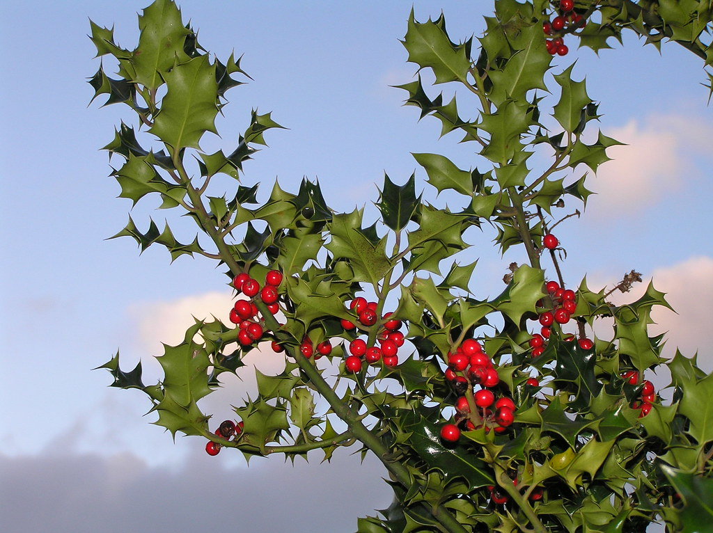 christmas berries a berry
