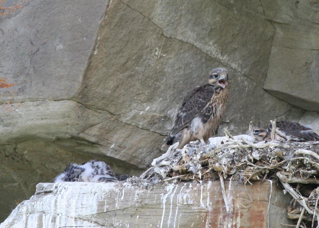 baby prairie falcon or
