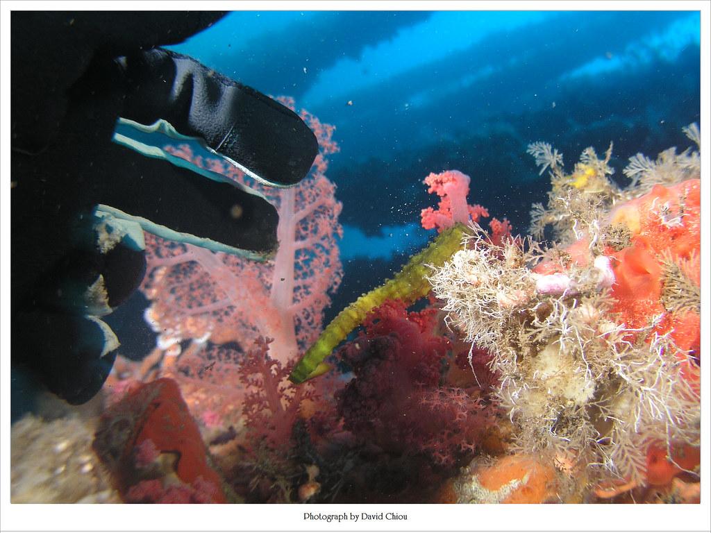 海馬 發現!!!   很大隻的海馬,阿黃是也~ 背對著我不給我拍~   David Chiou   Flickr