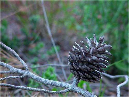 Tannenzapfen - Cone - piña de abeto