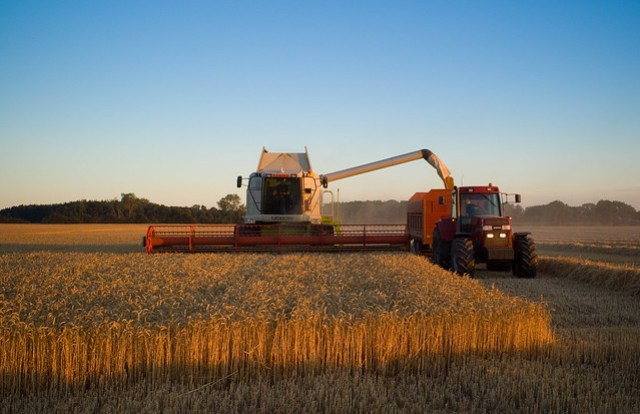 Wheat harvest before sunset near Branderslev, Lolland
