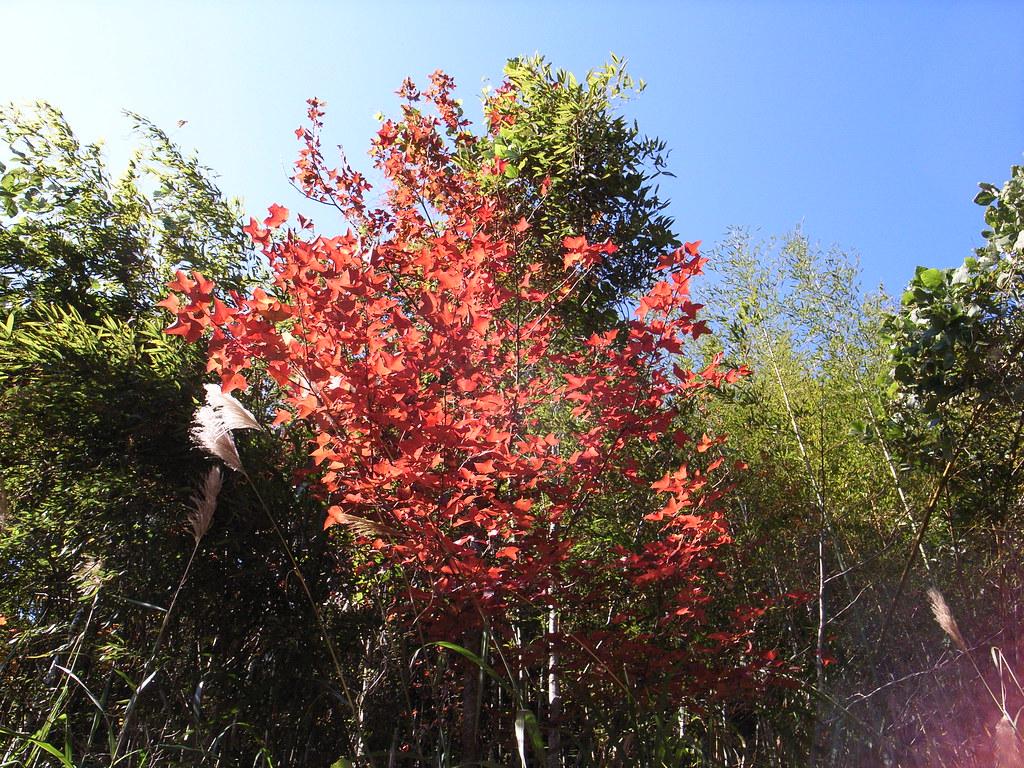 橫龍古道上面的楓葉,開始變紅了   bangdoll   Flickr