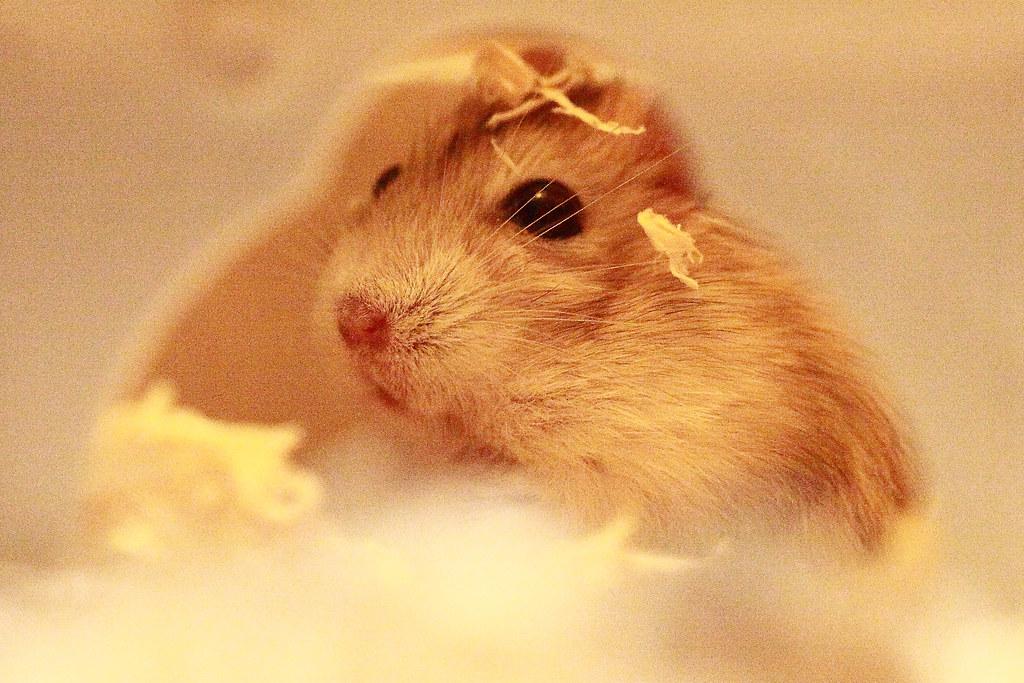 9焦糖布丁鼠「鼓鼓力三郎」0919-089749鄭適雲~嚙齒類動物行為與心理 | 焦糖布丁鼠「鼓鼓力三郎」0919-08… | Flickr