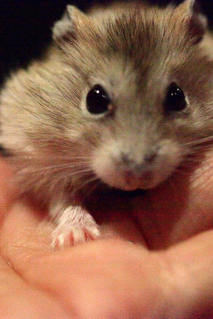 29焦糖布丁鼠「鼓鼓力三郎」0919-089749鄭適雲~嚙齒類動物行為與心理 | 焦糖布丁鼠「鼓鼓力三郎」0919-0… | Flickr